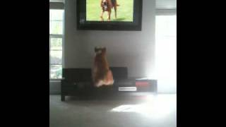 Welsh Corgi  Jumps At Dogs On Tv