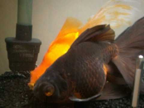 Black Moor & Orange Fantail Goldfish