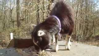 Repeat youtube video Educational Video #3 Goat Breeding