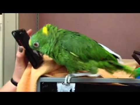 Amazon parrots goes crazy listening to music