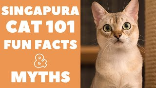 Singapura Cats 101 : Fun Facts & Myths