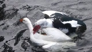 Duck attacks goose