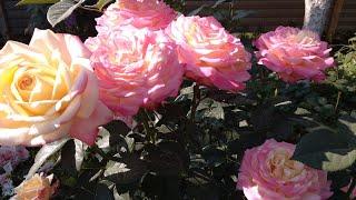 Розы вымерзли. Ужас!  Да никакого ужаса. Как их оживить?