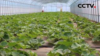 百村脱贫记 河北张家口黑石堰村:打造蔬菜种植产业链 实现稳定脱贫致富 |《中国新闻》CCTV中文国际 - YouTube