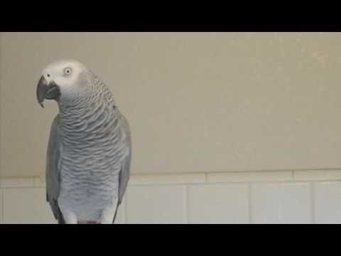 YoYo  Talking African Grey Parrot  Bathroom Speech Practice