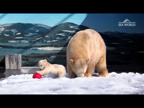 baby-polar-bear-at-sea-world