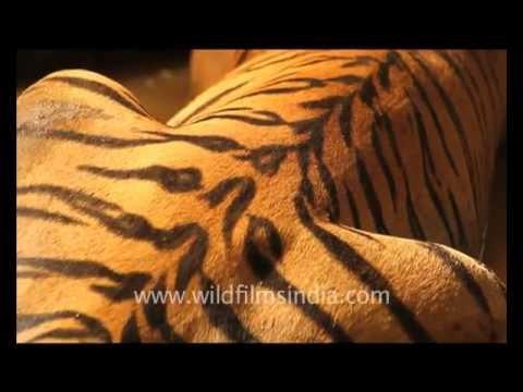 Tiger's haunche