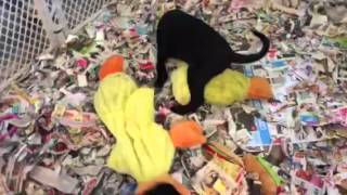 Black Male Labrador Retriever Puppies By Kiss X Bullet Playing