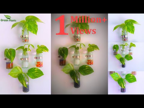 How To Grow Money Plant Clear Glass Wall Mounted Planter
