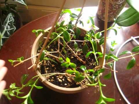 how to grow goldfish plant from cuttings
