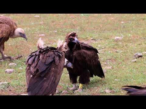 Eurasian Black Vulture PH3 courtship behaviour