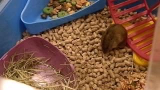 Полевая мышка