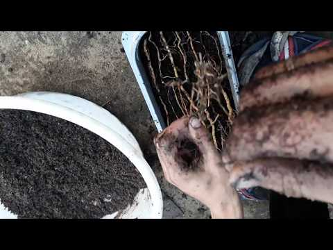 Размножение ремонтантной ежевики Black magic корневыми черенками