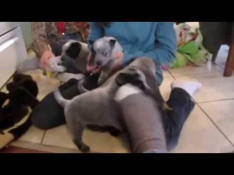 Blue Heeler Puppies 5 Weeks Canada