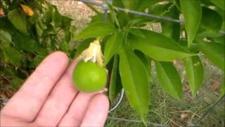 Passion Fruit Plant Maypop Fruit Passiflora Incarnata