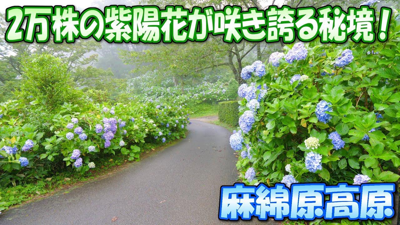 2万株の紫陽花が咲き誇る秘境!麻綿原高原