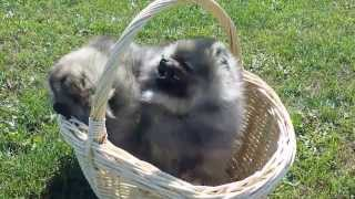 Wolf- Sable Pomeranian Puppies Im Körbchen