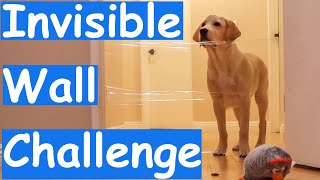 Labrador Puppy Reacts to the Invisible Wall Challenge and He Looked Confused (Sweet Reaction)