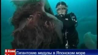 Гигантская медуза Цианея. Фото и видео медузы Цианеи.