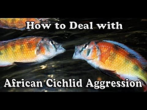 How to Deal with African Cichlid Aggression