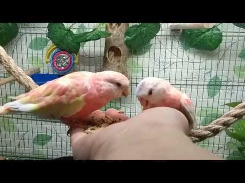 Приручение розовобрюхих попугаев по методу Су-Джок (часть 3)