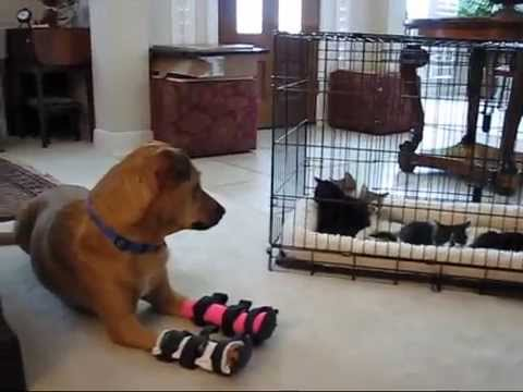Feral mom cat figures out how to get in my house to see her kittens while rescue dog Percy babysits