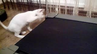 Кот на беговой дорожке. Cat on a treadmill