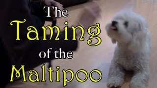 The Taming of the Maltipoo