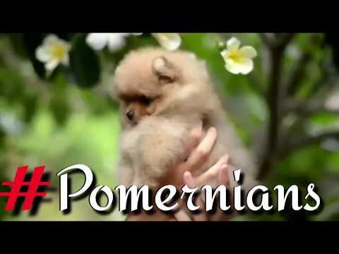 pedigree-toy-pomeranian-puppies-videos-clips.-puppies,-semi-adults,-adults-&-pair-pomeranian-ready