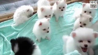 pomeranian puppies playing