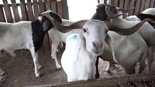 Filière ovine : incursion dans le milieu des éleveurs domestiques