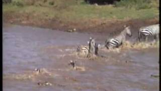 zebras and crocodiles in kenya 1996