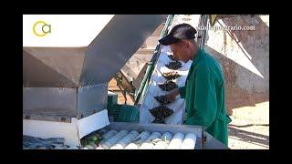 Almazara portátil para aceite ecológico en Osuna YouTube Videos