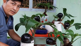 X l cy da bonsai thnh phm c l to thnh l nh coconut bonsai