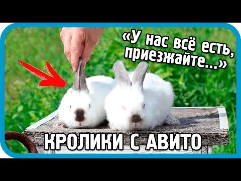 Как меня обманули кролиководы с Авито. Мой первый опыт покупки кроликов по объявлениям.