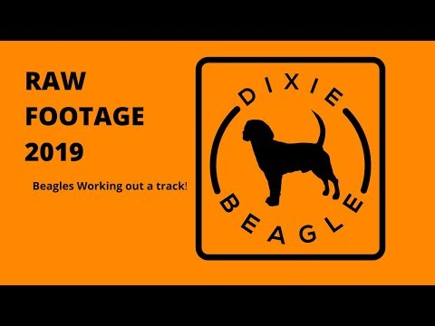 RAW FOOTAGE Beagles working up a track!