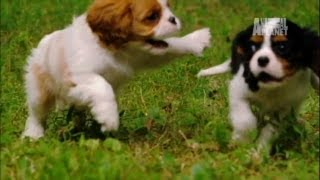 Playful Spaniels | Too Cute!
