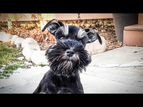 WOW!!!! Pre-TRAINED Miniature Schnauzer Puppy is Amazing and Ready for Her FOREVER HOME!