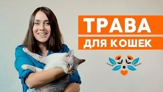 Трава для котов и кошек: какую траву едят коты ?(Несмотря на то, что коты являются плотоядными животными, их организму всё-таки нужна и растительная пища...., 2015-12-21T15:35:01.000Z)