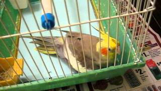 Cockatiel laying an egg
