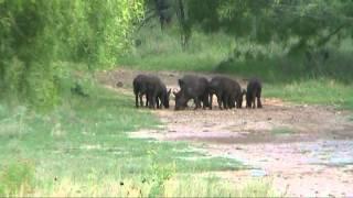 Texas feral hog hunting 1 by Kevin Dooley DVM