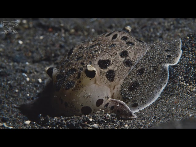 Take a Minute XIX : Moon-headed sidegill slug (Euselenops luniceps)