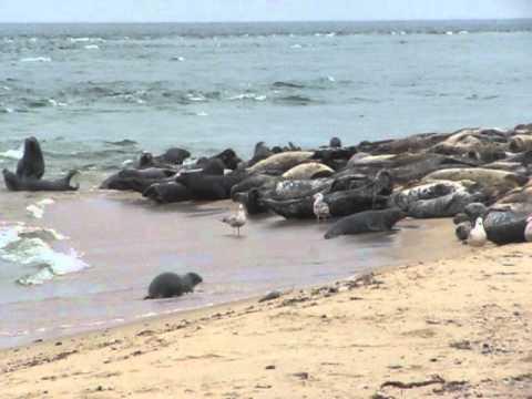Seals At Great Point Beach Coatue Wildlife Refuge Nantucket Ma