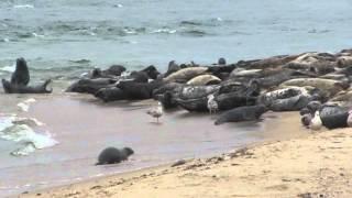 Seals at Great Point Beach, Coatue Wildlife Refuge, Nantucket, MA