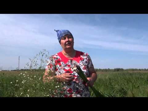 Аир болотный полезные свойства и применение