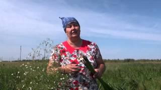 видео Аир болотный - применение в народной медицине.