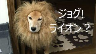 わが家のペット愛犬jogです。AmazonのCM 犬ライオンみたいな立派なた...