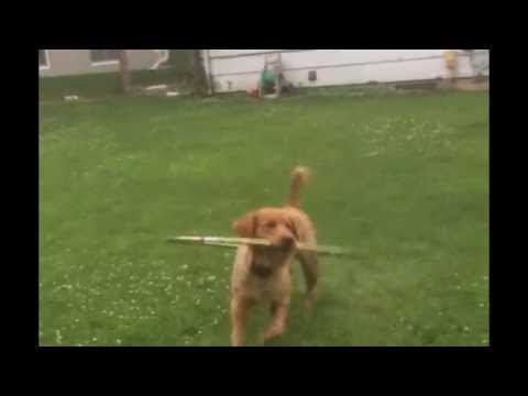 Cute Puppy Plays with Hula Hoop