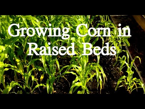 Growing corn in a raised bed
