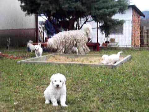 Komondor Puppies With Their Mother Vatta Youtube